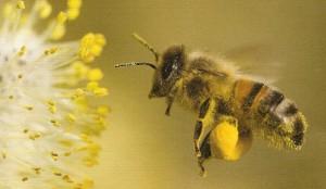 abeille chargée de pollen