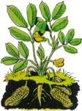 plante-darachides